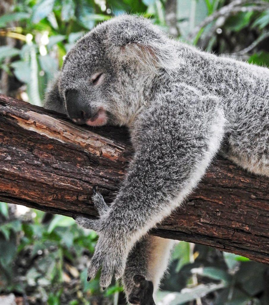 Koala en Australie - GObyAVA