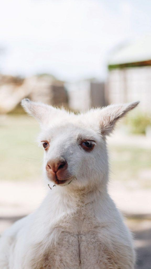 Wallaby blanc en Tasmanie