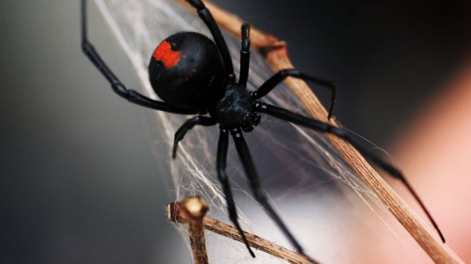L'araignée red spider en gros plan