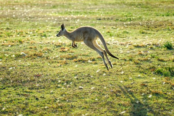 Kangourou sautant dans un champ