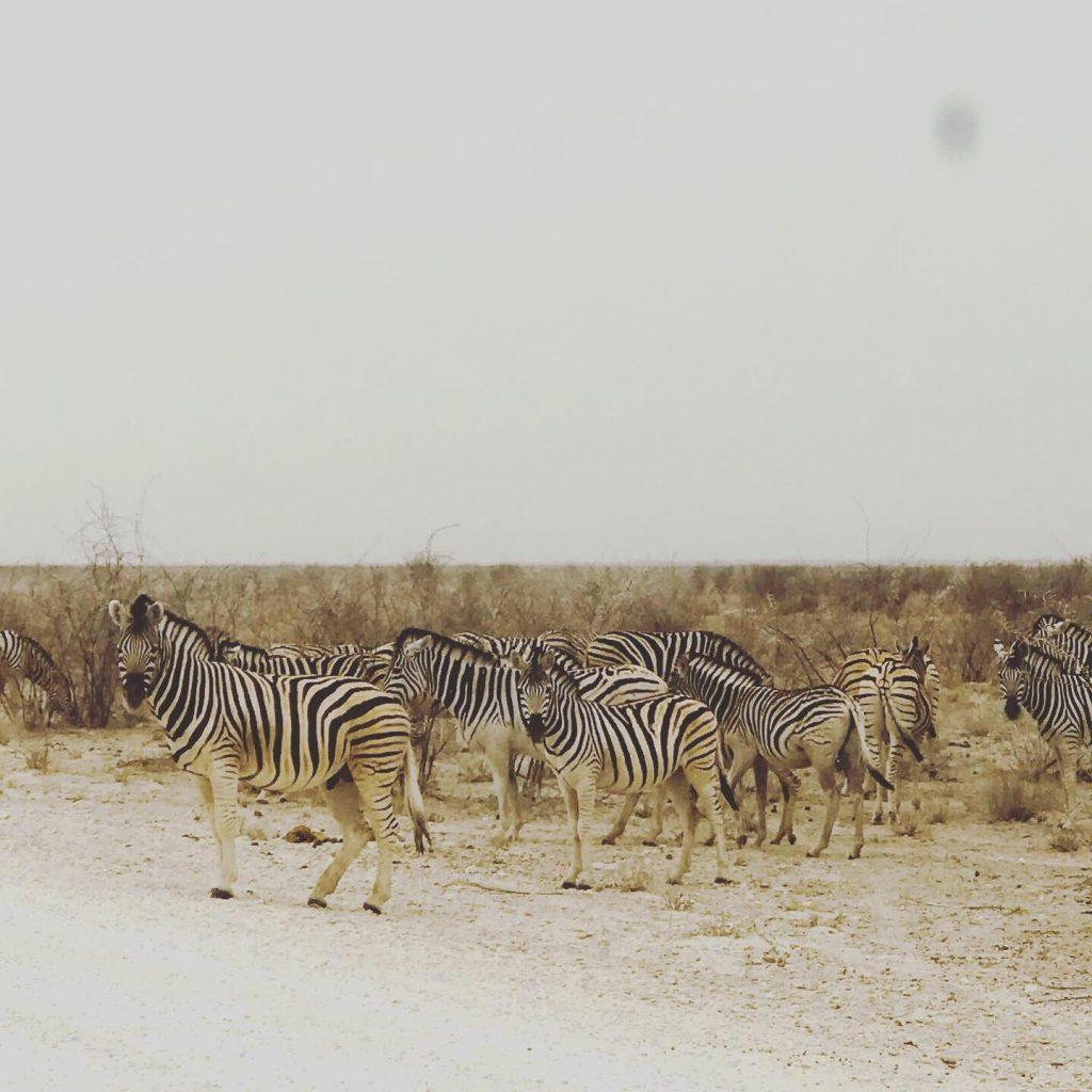 Zèbres dans le désert de Namib