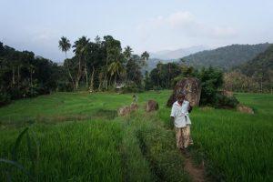 Rizières flamboyantes au Sri Lanka
