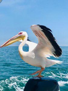 Pelican bord de l'eau - Namibie