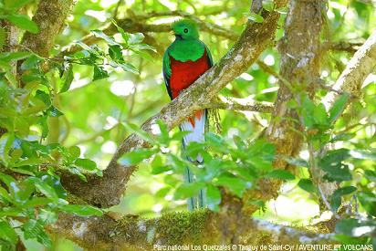 Quetzal au milieu d'un arbre