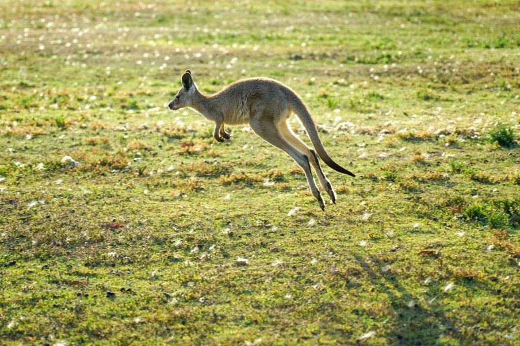 kangourou en Australie