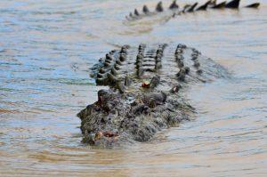 Les crocodiles d'Adélaïde River