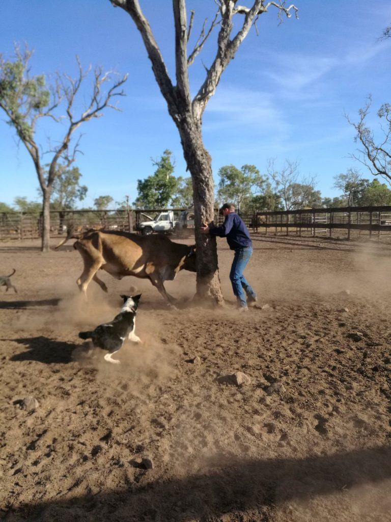Attraper un buffle sauvage en Australie